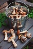 Os cogumelos comestíveis selvagens frescos, o orande e o tampão marrom recolheram podem dentro no banco de madeira Fotos de Stock