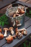 Os cogumelos comestíveis selvagens frescos recolheram podem dentro no banco de madeira Imagens de Stock Royalty Free