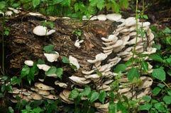 Os cogumelos crescem na floresta Fotografia de Stock Royalty Free