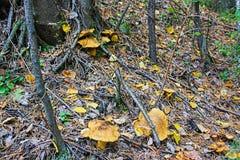 Os cogumelos da floresta crescem em um esclarecimento sob abetos imagens de stock