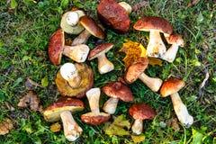 Os cogumelos de Porcini são brancos com as folhas amarelas na grama verde Foto de Stock Royalty Free