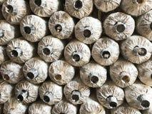 Os cogumelos de semeação no saco Imagens de Stock Royalty Free