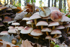 Os cogumelos do topete do tijolo fecham-se acima Fotografia de Stock