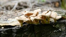 Os cogumelos estão crescendo em um coto na floresta européia imagens de stock royalty free