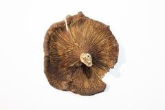 Os cogumelos estão na terra branca imagem de stock