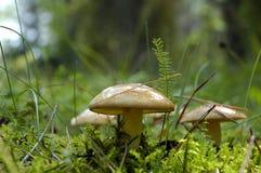 Os cogumelos fecham-se acima imagens de stock