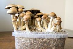 Os cogumelos mágicos psicadélicos que crescem em casa, cultivo do psilocybin crescem rapidamente Fotos de Stock