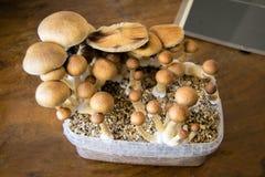 Os cogumelos mágicos psicadélicos que crescem em casa, cultivo do psilocybin crescem rapidamente Fotografia de Stock