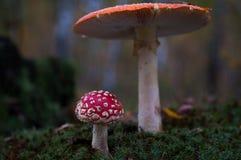 Os cogumelos na floresta são iluminados pelos raios do ` s do sol de luz Fotografia de Stock