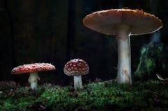 Os cogumelos na floresta são iluminados pelos raios do ` s do sol de luz Fotos de Stock Royalty Free
