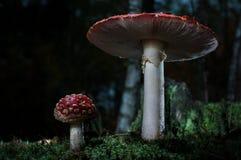 Os cogumelos na floresta são iluminados pelos raios do ` s do sol de luz Fotos de Stock
