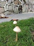 Os cogumelos os mais bonitos Imagem de Stock