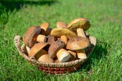Os cogumelos recolheram na floresta em uma grama Fotos de Stock Royalty Free
