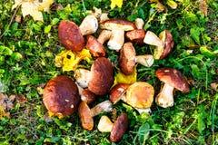 Os cogumelos são brancos com as folhas amarelas na grama verde Imagem de Stock