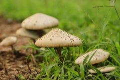Os cogumelos são dieta saudável Fotos de Stock
