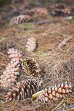 Os cones do pinho deixaram cair no assoalho da floresta Imagens de Stock
