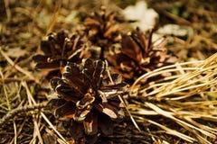 Os cones e as agulhas secam na terra na madeira Imagem de Stock