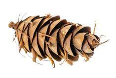 Os cones incomuns do pinho do cedro são fundo branco isolado Imagem de Stock Royalty Free