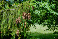 Os cones nos ramos Imagens de Stock