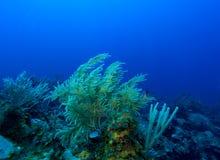 Os corais macios aproximam o Largo de Cayo, Cuba Fotografia de Stock