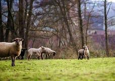 Os cordeiros bonitos com os carneiros adultos no inverno colocam Fotografia de Stock Royalty Free