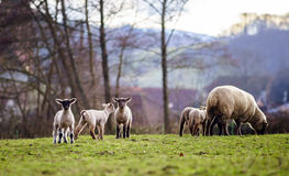 Os cordeiros bonitos com os carneiros adultos no inverno colocam Fotos de Stock Royalty Free