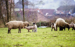 Os cordeiros bonitos com os carneiros adultos no inverno colocam Fotografia de Stock
