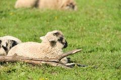 Os cordeiros bonitos dormem para baixo no prado Imagens de Stock Royalty Free