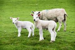 Os cordeiros doces que residem no Scottish bonito verde colocam Imagem de Stock