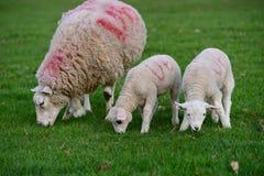 Os cordeiros e os carneiros pastam dentro Imagem de Stock Royalty Free