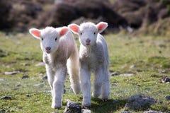 Os cordeiros gêmeos felizes vêm mais perto, Wainuiomata, Nova Zelândia Fotos de Stock Royalty Free