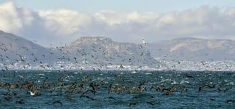 Os cormorões do cabo (capensis do phalacrocorax) no fundo brilhante da água fotos de stock royalty free