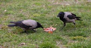 Os corvos compartilham de uma parte de alimento na grama fotos de stock