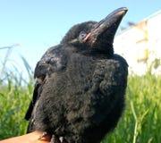 Os corvos do Nestling. foto de stock