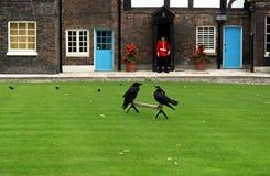 Os corvos na torre de Londres (Inglaterra) Fotos de Stock Royalty Free