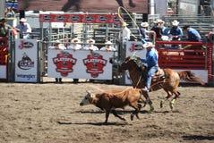 Os cowboys team roping. Fotografia de Stock Royalty Free