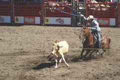 Os cowboys team roping. Imagens de Stock