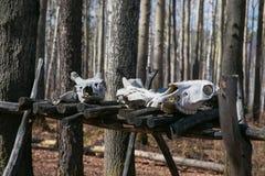 Os crânios dos animais matados por caçadores Fotografia de Stock Royalty Free