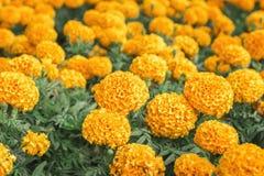 Os cravos-de-defunto no jardim olham bonitos fotografia de stock royalty free