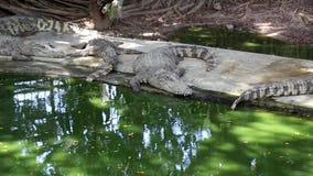 Os crocodilos estão perto da água vídeos de arquivo