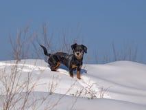 Os custos pequenos do cão na neve fotografia de stock royalty free