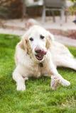 Os d'amour de chiens ! Photographie stock
