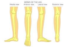 Os d'anatomie de fracture_Leg d'os illustration stock