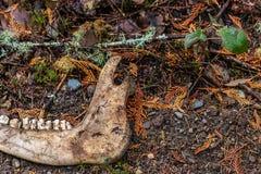 os de mâchoire de la gauche animale sur le plancher de forêt image libre de droits