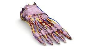 Os de pied avec des ligaments, des vaisseaux sanguins et la vue de perspective de nerfs Photographie stock