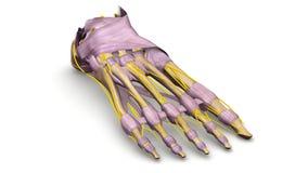 Os de pied avec des ligaments et la vue de perspective de nerfs Photographie stock libre de droits