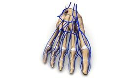 Os de pied avec la vue antérieure de veines Image libre de droits