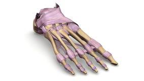 Os de pied avec la vue de perspective de ligaments Images stock