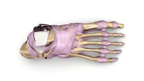 Os de pied avec la vue supérieure de ligaments Image stock