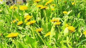 Os dentes-de-leão amarelos crescem na grama verde Flores da mola no jardim Foto de Stock